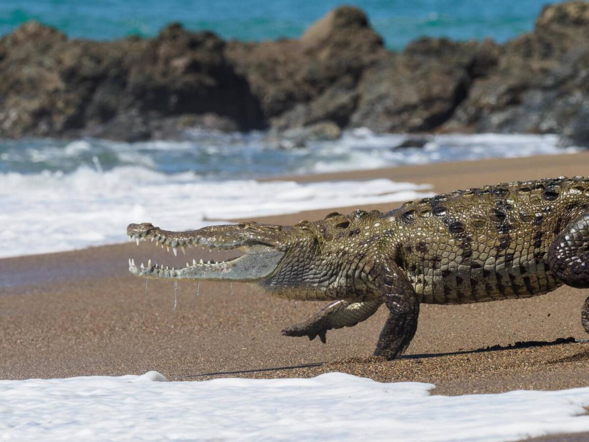 crocodile- Costa Rica