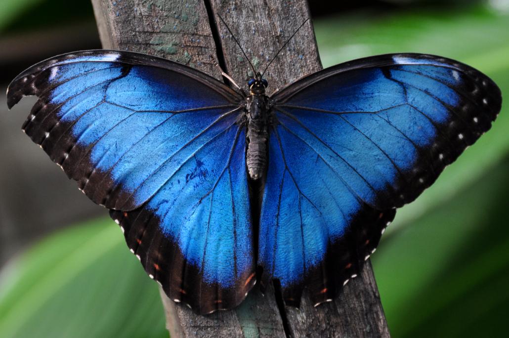 Blue Morpho Buttlerfly
