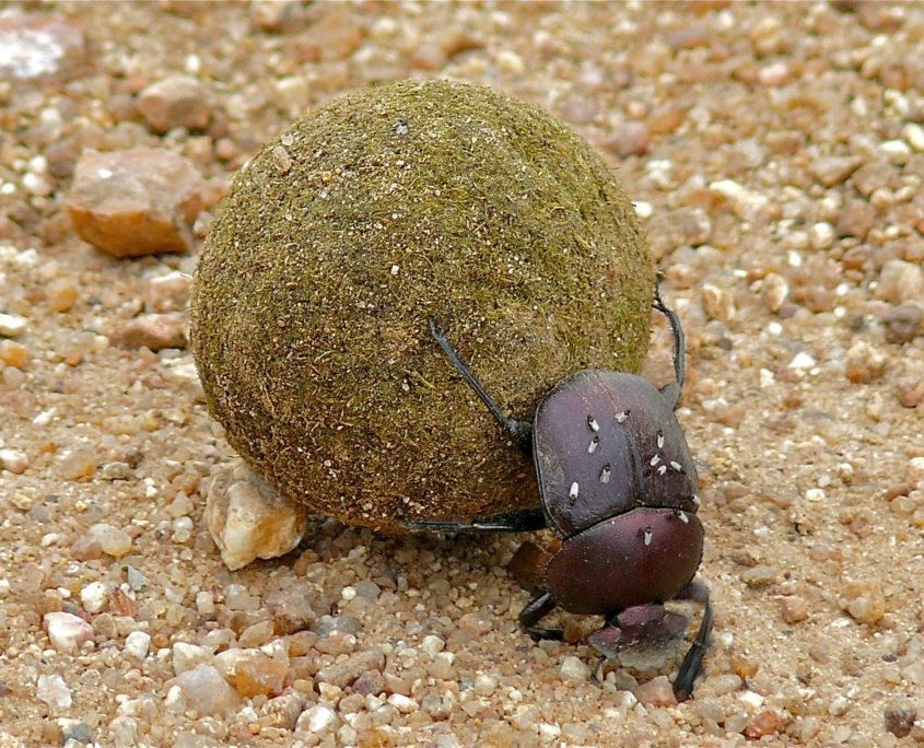 Copper Dung Beetle