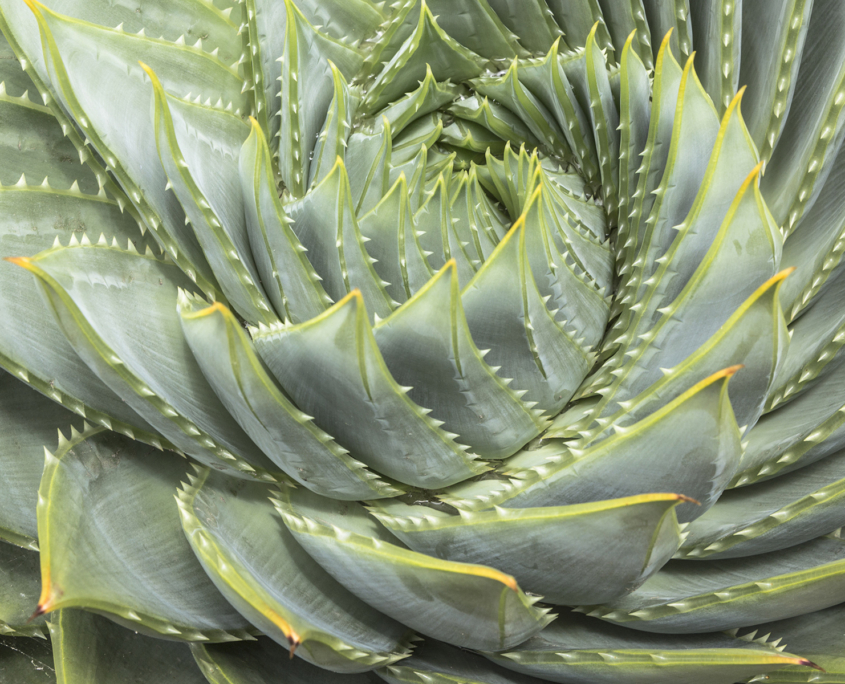 Aloe plant spiral growth