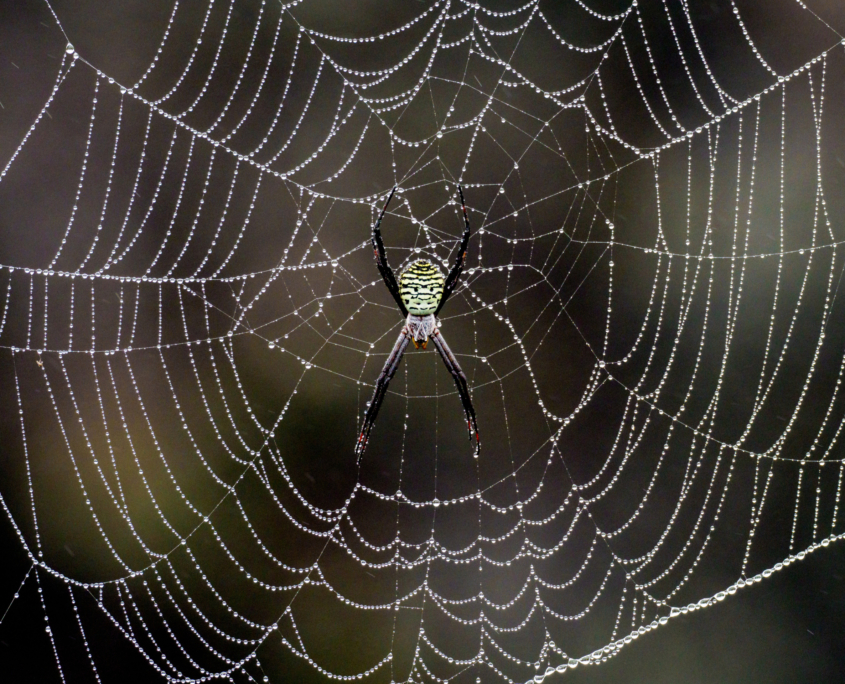 Spider Hawaii
